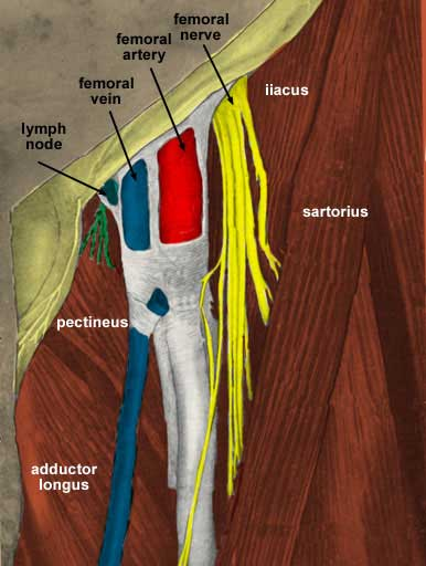 anterior thigh, Muscles
