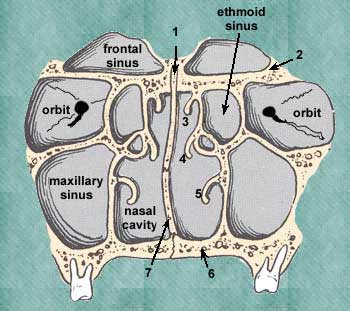 Also Note That The Floor Of The Nasal Cavity Is Made Up Of The Palatine  Processes Of The Maxilla (6).