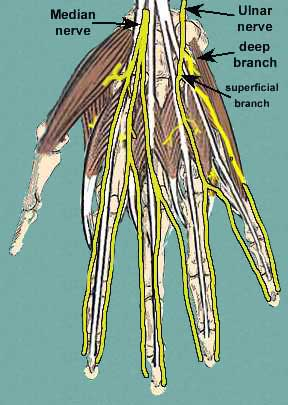 nervesofpalmofhandsup nerves of the hand
