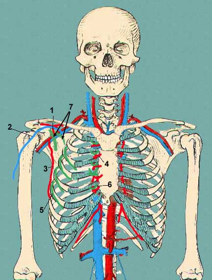 pectoral vessels and nerves