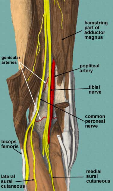 posterior thigh, Muscles