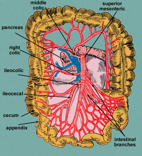 superior & inferior mesentery arteries, Human Body