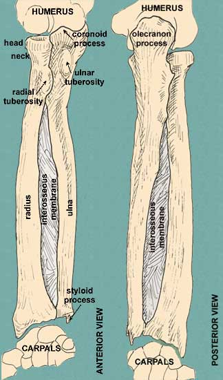 Bones of the Arm and Forearm