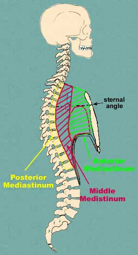 subdivision of mediastinum according to clinicians