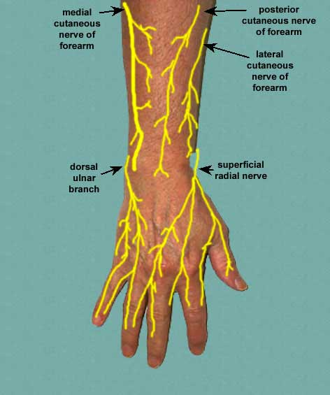dorsal cutaneous nerves of forearm