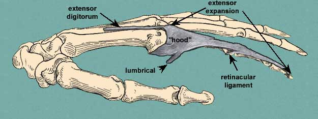 lateral view of extensor expansion