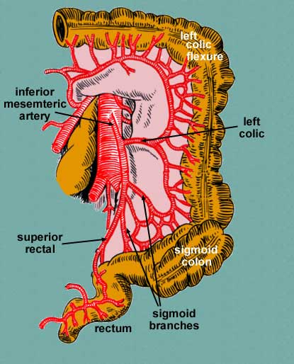 superior & inferior mesentery arteries, Cephalic Vein