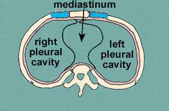 subdivision of thoracic cavity