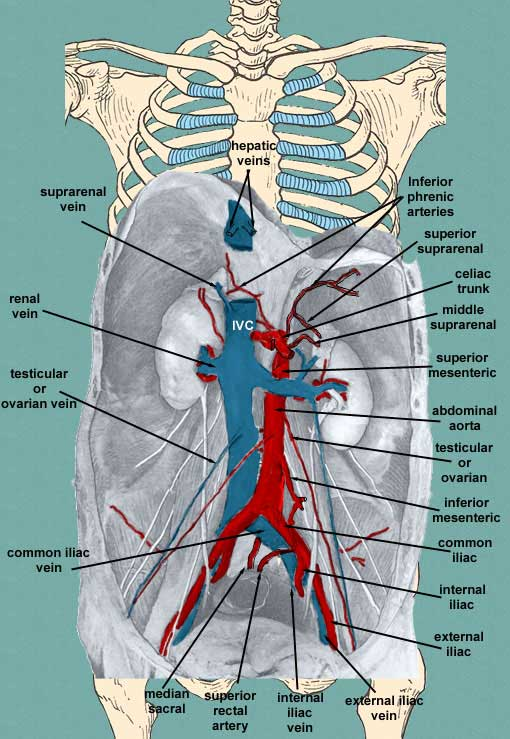 Posterior abdomen arteries and veins of the posterior abdomen ccuart Image collections