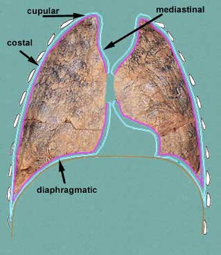 Pleural cavity and lungs ccuart Image collections